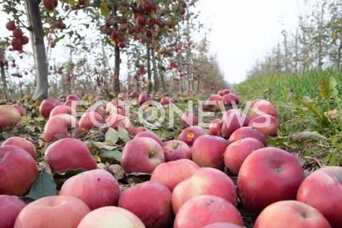 Grójeckie sady jesienią