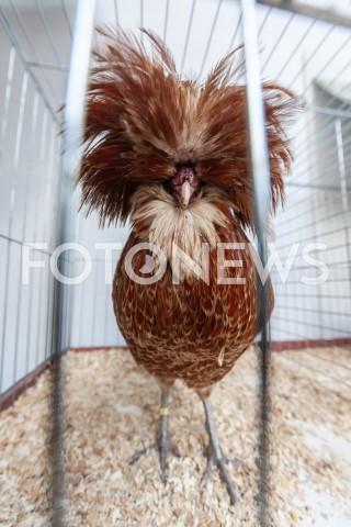 AGENCJA FOTONEWS - 12.05.2019 WARSZAWAWYSTAWA NAJPIEKNIEJSZE KURY SWIATAN/Z KOGUT KURAFOT GRZEGORZ KRZYZEWSKI / FOTONEWS