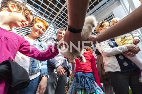 AGENCJA FOTONEWS - 12.05.2019 WARSZAWAWYSTAWA NAJPIEKNIEJSZE KURY SWIATAN/Z UCZESTNICY WYDARZENIA GLASZCZACY KURE KOGUTA WIDOK OD DOLU KURA JEDWABISTAFOT GRZEGORZ KRZYZEWSKI / FOTONEWS
