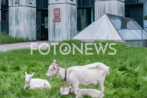 Rolnik z Jędrzejowa protestuje z kozami przed sądem w Warszawie