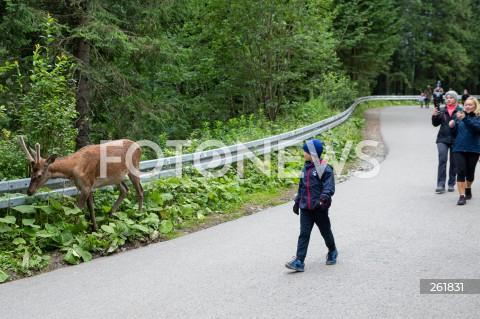 Jeleń na szlaku do Morskiego Oka w Tatrzańskim Parku Narodowym